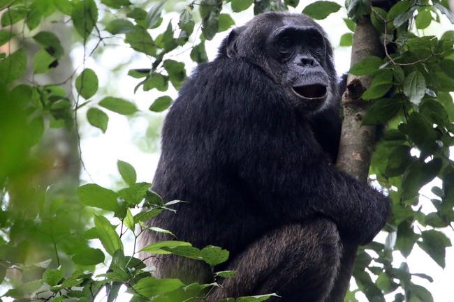 טיול לאוגנדה - שימפנזה