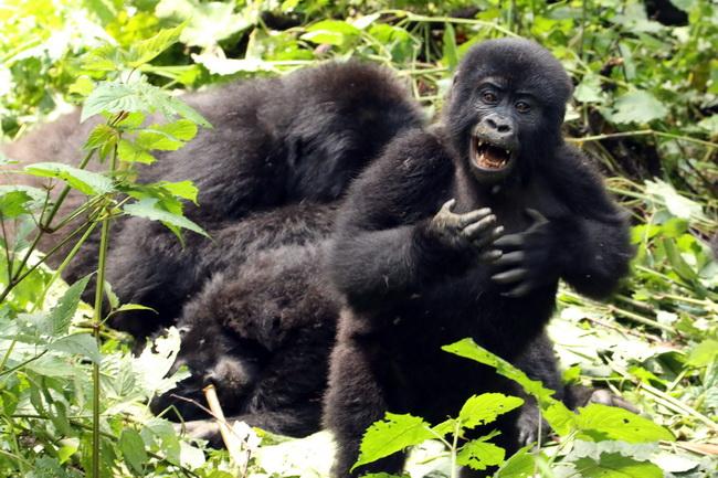 טיול לאוגנדה - גורילות