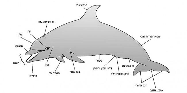 לוויתן שיניים