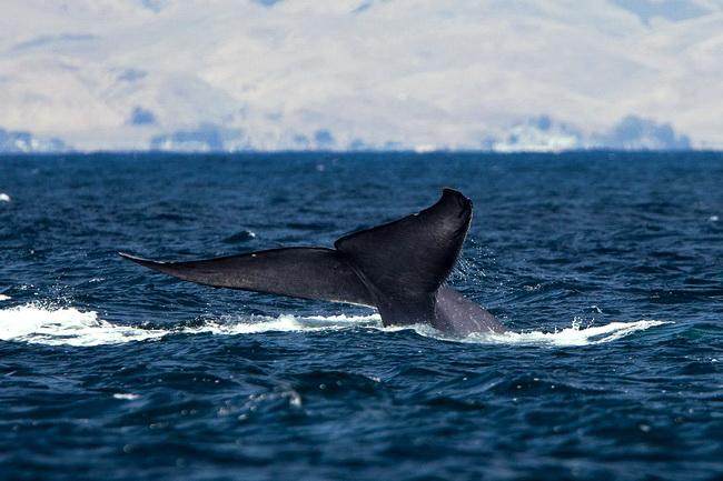 לוויתן כחול