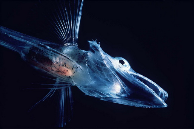 דג קרח באנטארקטיקה