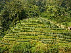 מטעי תה במלזיה