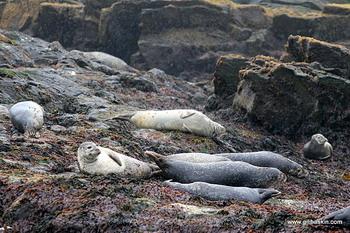 כלבי ים באיסלנד