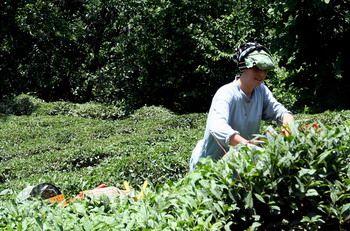 קוטפת תה בהרי הקצ'קר, תורכיה