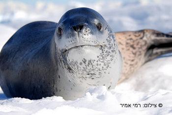 כלב ים נמרי