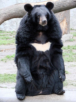 דוב הימלאיה