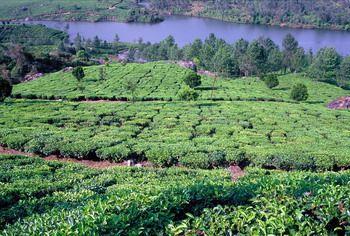 שדות תה באזור מונאר, דרום הודו