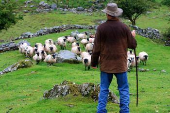 איסוף כבשים בטבעת קרי