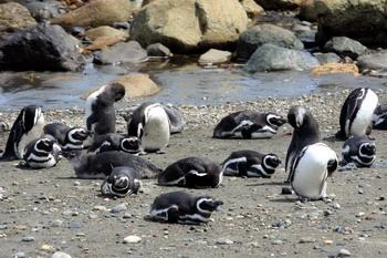 פינגווין מגלן