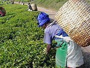 קוטפת תה בטנזיניה