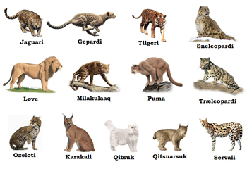 How Many Different Types Of Big Cats Are There