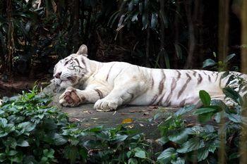 טגריס בנגאלי (לבן)