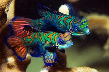 דגי מנדרין