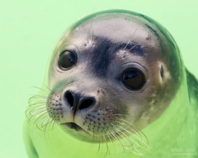 טיול לאנטארקטיקה - כלב ים