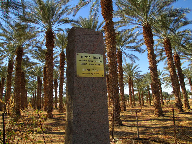 800px-Date_palm_trees_in_Kibbutz_Eilotw