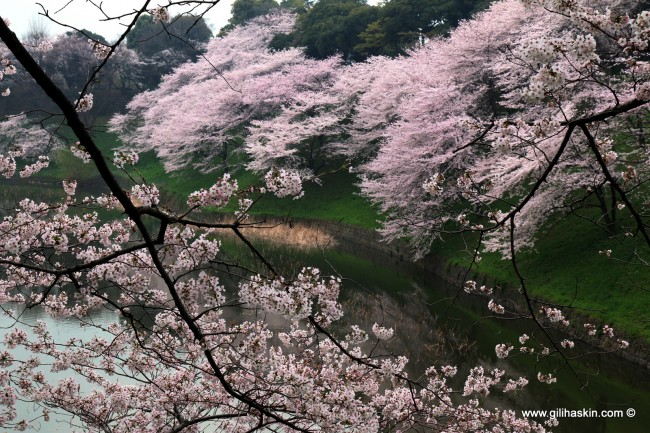 פריחת הדובדבן בטוקיו. צילום: גילי חסקין