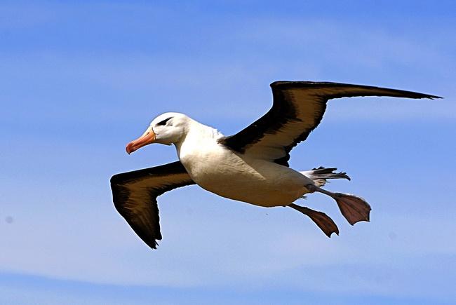 Albatros7_resize