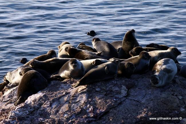טיול לסיביר - כלבי ים