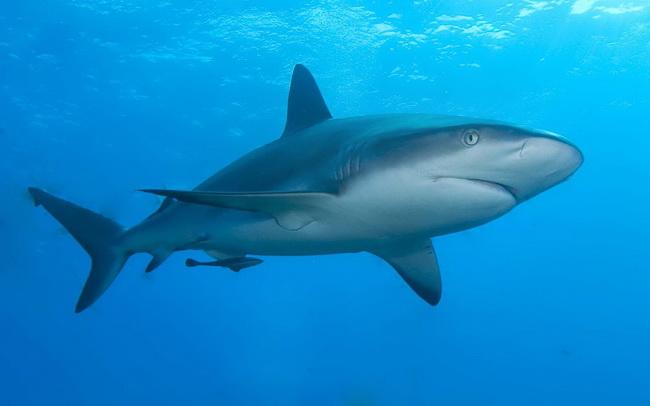 כריש שונית קריבי