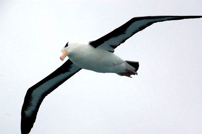 A Black-Browed Albatross, Scotia Sea, South Atlantic Ocean