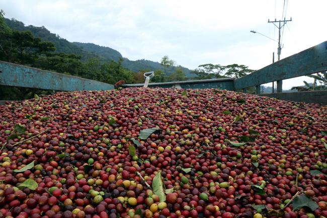 פולי קפה - טיול לקוסטה ריקה