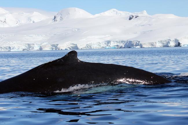 לוויתנים
