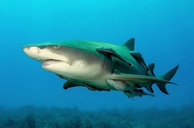 כריש לימוני