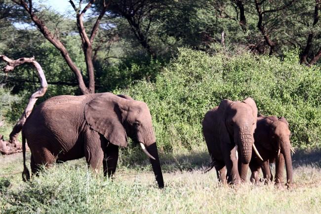 טיול לקניה - פילים