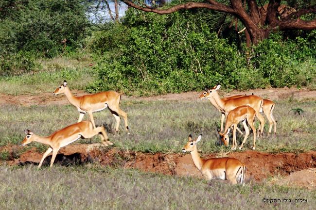 טיול לקניה - אנטילופות