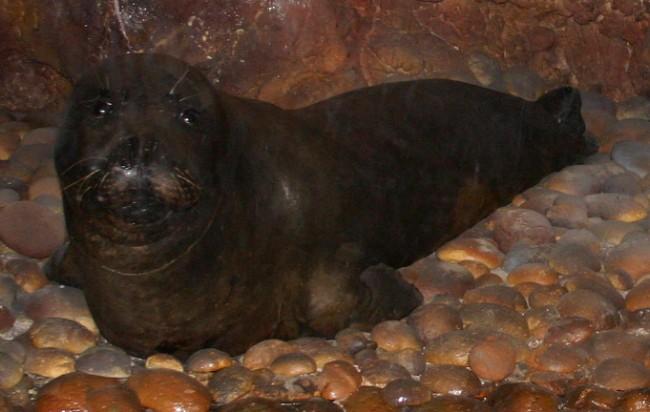 כלב ים נזירי