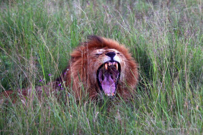 טיול לטנזניה - אריה