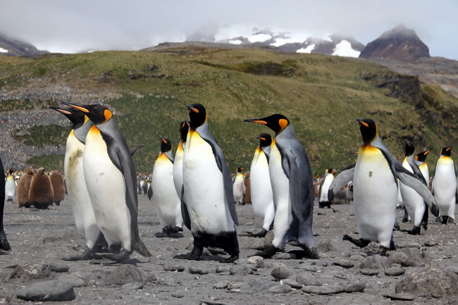 פנגווינים