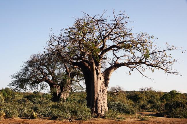 טיול לטנזניה - עץ באובב בסוונה. צילום : גילי חסקין; פברואר 2010