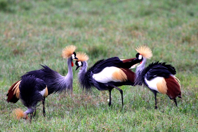 טיול לטנזניה - עגורי כתב השמורת נגורו נגורו. צילום: גילי חסקין, פברואר 2011
