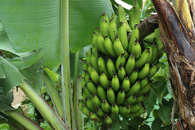 בננה - טיול לאקוודור