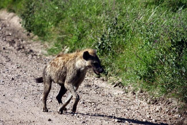 טיול לקניה - צבוע
