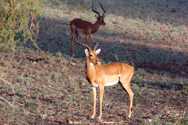 סאפארי בקניה