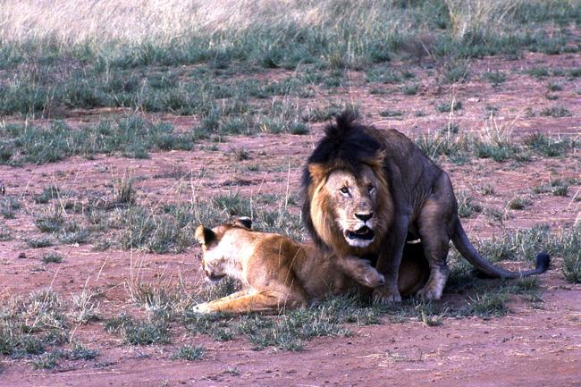 טיול לקניה - אריה