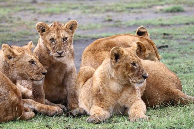 טיול בקניה - אריה