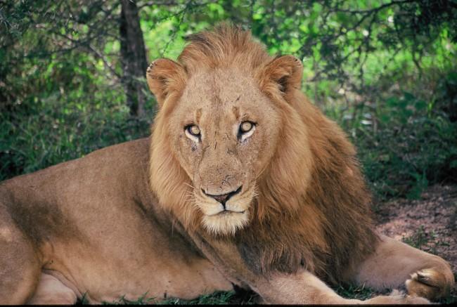 טיול לדרום אפריקה - אריה