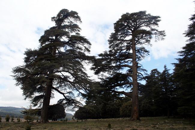 עצי ארז אטלנטי בארזו שבאטלס התיכון. צילום: גילי חסקין