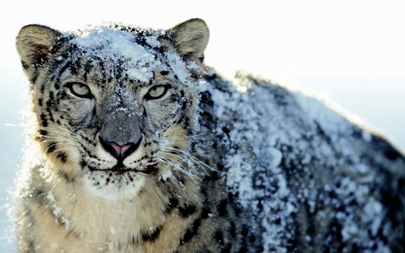 טיול למונגוליה - נמר השלג