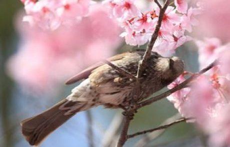 יפן בפריחת הדובדבן כולל האי קיושו  אפריל 2020