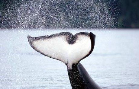 הלווייתנים