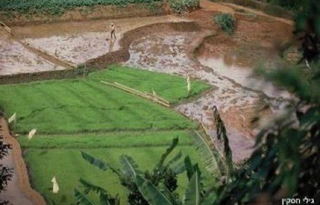 האורז – מקורו, דרכי גידולו ומקומו בתרבות