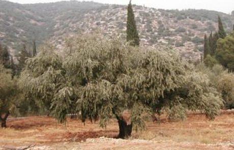 עץ הזית והפקת שמן הזית