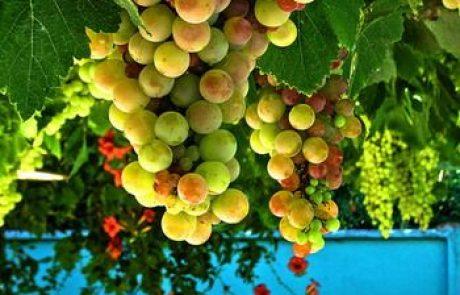 גידול הגפן ותעשיית היין