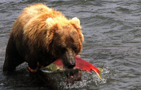 טיול לקמצ'טקה – בין דובים לגייזרים