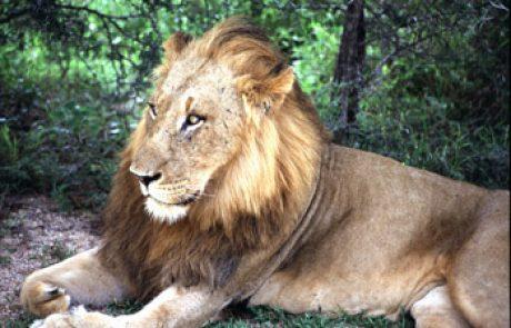 האריה