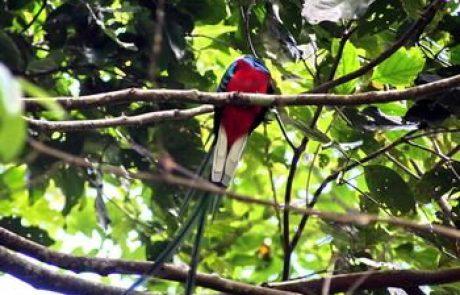 הקצאל – העוף הלאומי של גואטמלה